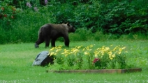 Brown bear in cemetary