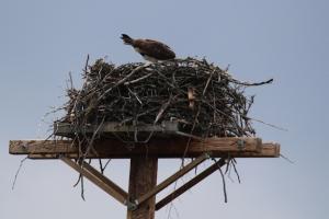 osprey2feed