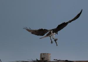 osprey4fish
